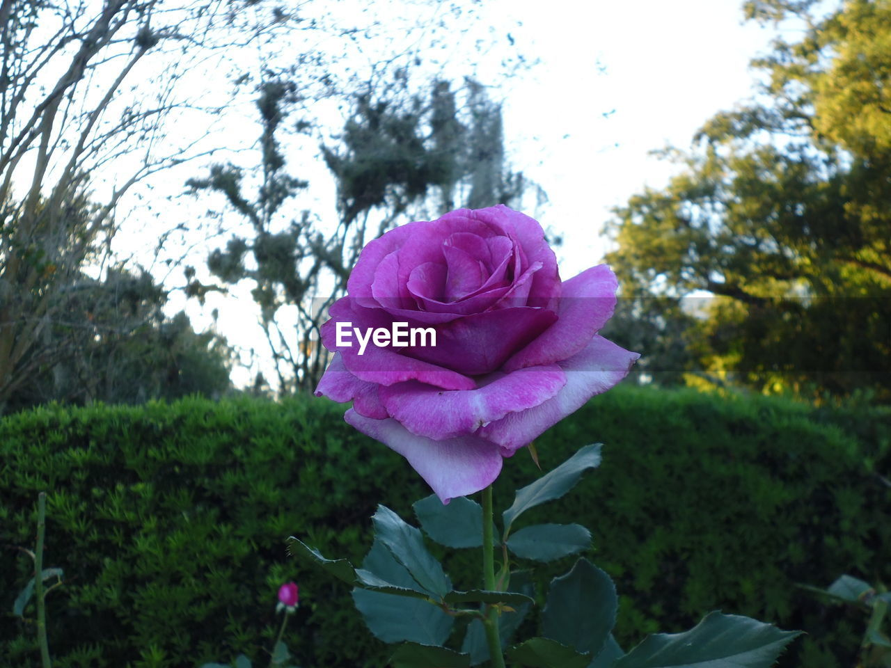 flower, nature, petal, beauty in nature, plant, growth, fragility, focus on foreground, flower head, blooming, no people, outdoors, rose - flower, day, freshness, pink color, close-up, leaf, tree