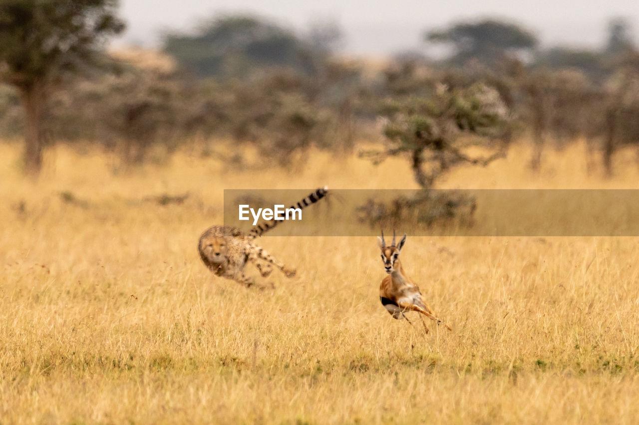 Cheetah chasing gazelle on field