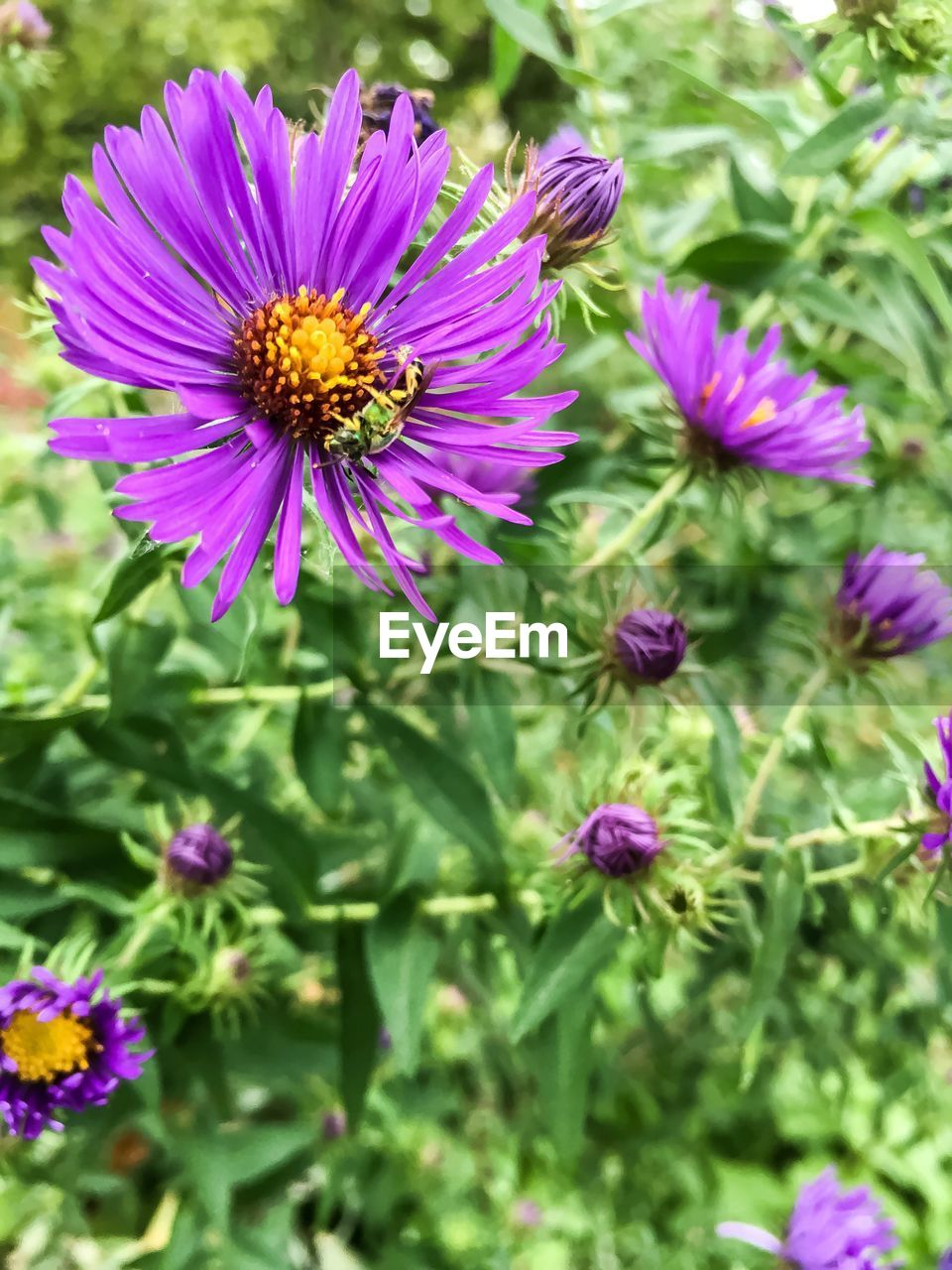 flower, fragility, growth, petal, nature, beauty in nature, purple, flower head, plant, freshness, day, no people, blooming, outdoors, green color, close-up, osteospermum, eastern purple coneflower