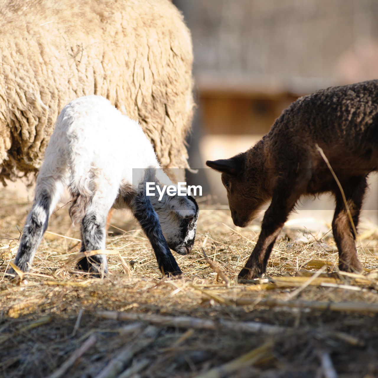 group of animals, mammal, animal themes, animal, livestock, domestic animals, vertebrate, domestic, pets, two animals, field, sheep, land, day, young animal, nature, no people, agriculture, grazing, selective focus, herbivorous, animal family
