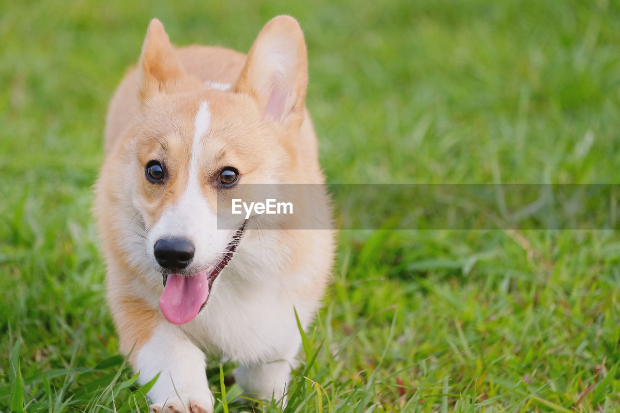 Close-up of corgi with sticking tongue out on field