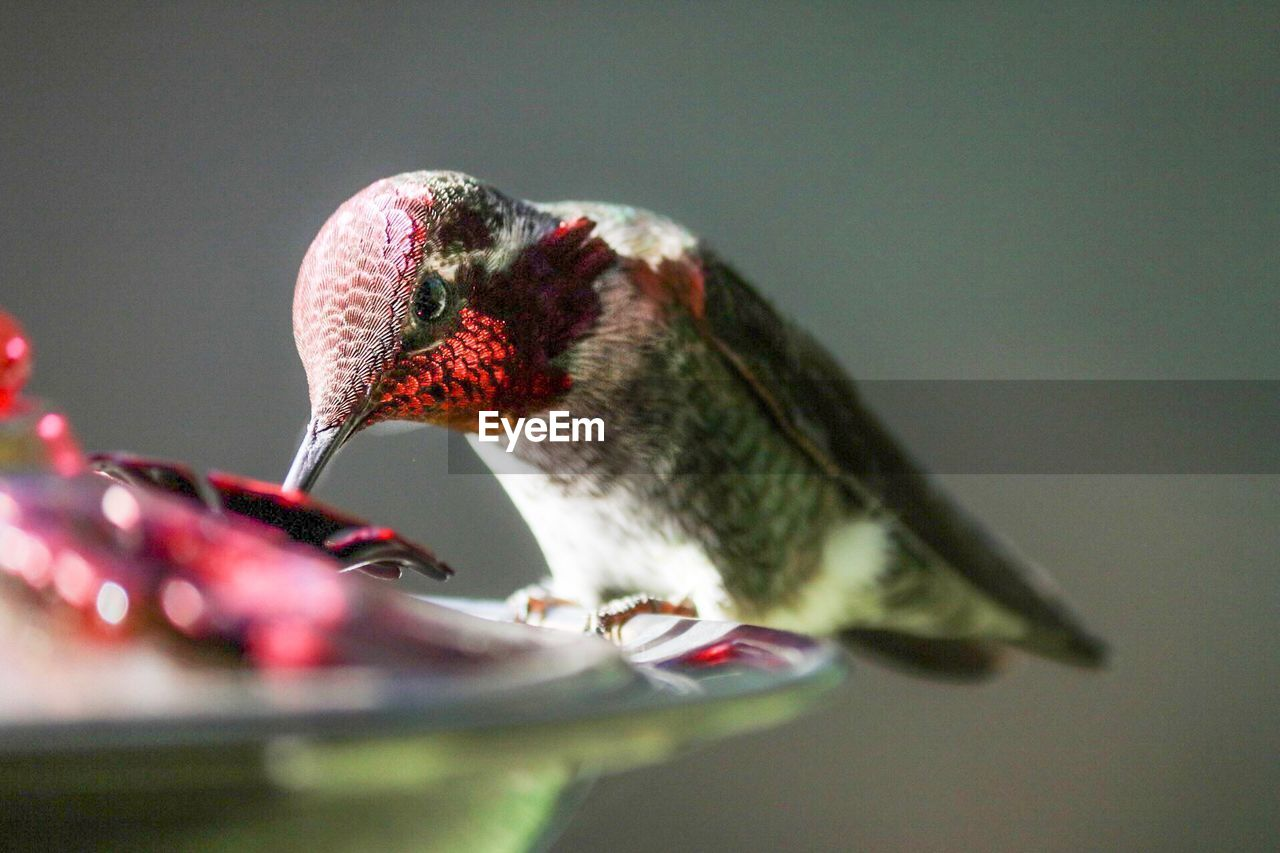 bird, vertebrate, animal themes, animal, animal wildlife, animals in the wild, selective focus, one animal, no people, hummingbird, close-up, red, beauty in nature, nature, day, bird feeder, flowering plant, flower, perching, outdoors