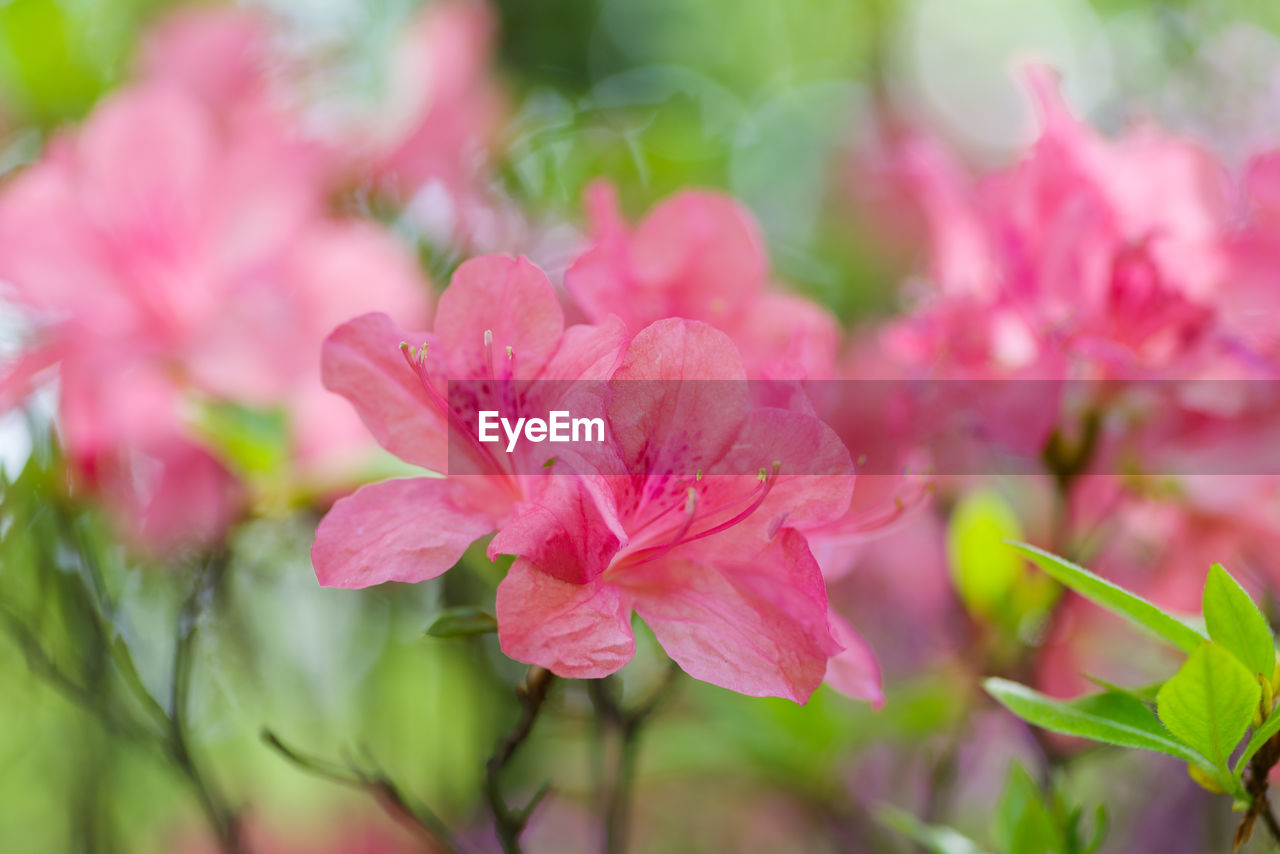 pink color, flower, plant, flowering plant, freshness, beauty in nature, fragility, vulnerability, close-up, growth, petal, inflorescence, flower head, selective focus, no people, nature, day, outdoors, plant part, leaf
