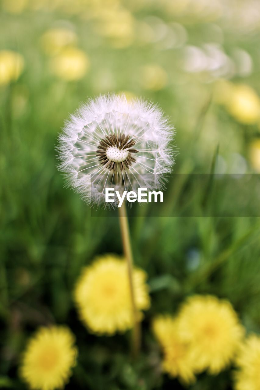 flower, flowering plant, fragility, vulnerability, freshness, plant, growth, beauty in nature, dandelion, flower head, inflorescence, close-up, yellow, focus on foreground, nature, no people, selective focus, petal, field, plant stem, outdoors, softness, dandelion seed