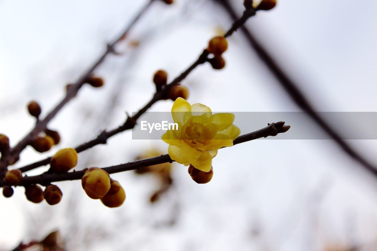 Close-Up Of Yellow Cherry Blossoms In Spring