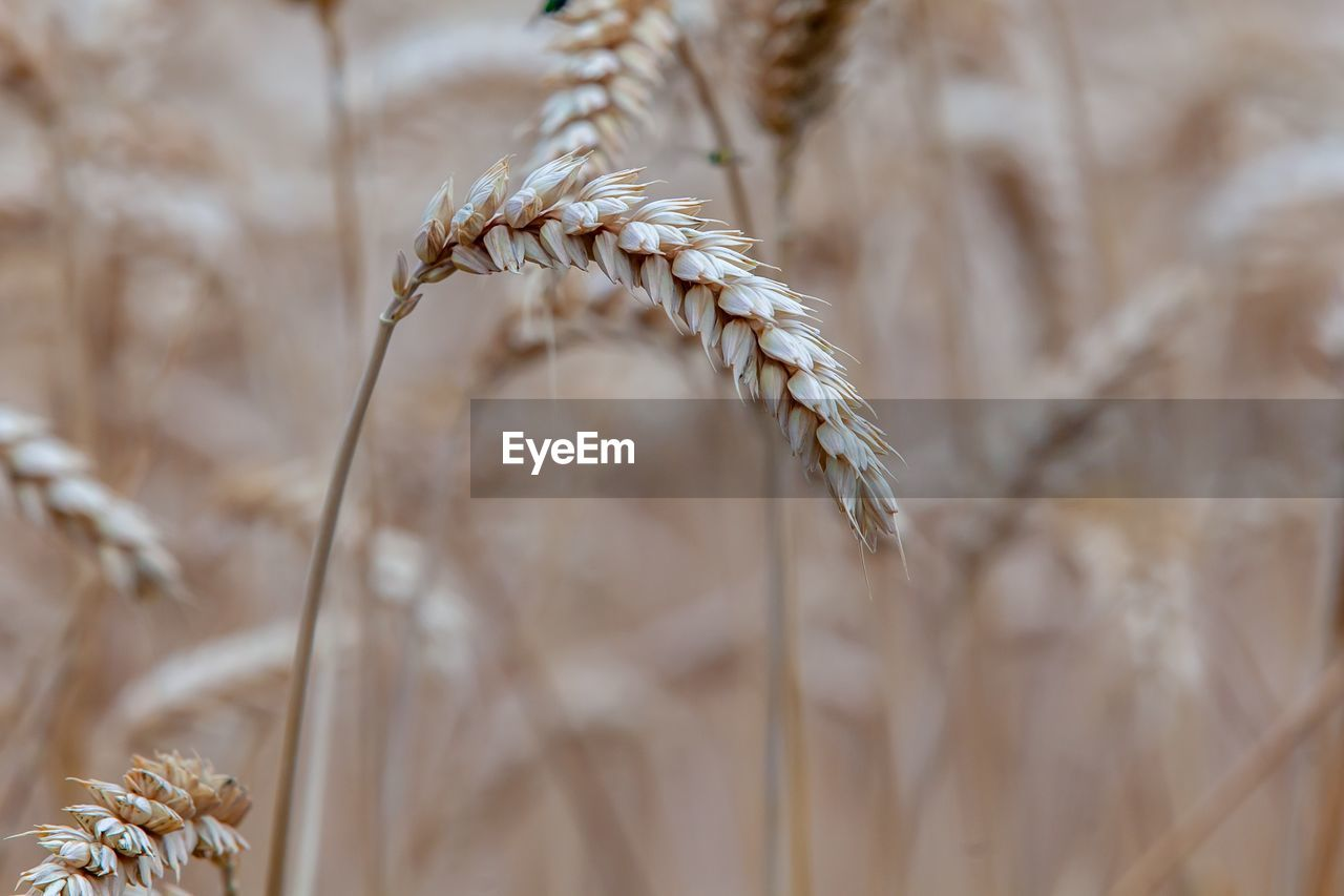 plant, growth, agriculture, crop, close-up, cereal plant, focus on foreground, nature, no people, wheat, day, beauty in nature, selective focus, field, tranquility, outdoors, farm, land, brown, plant stem, stalk
