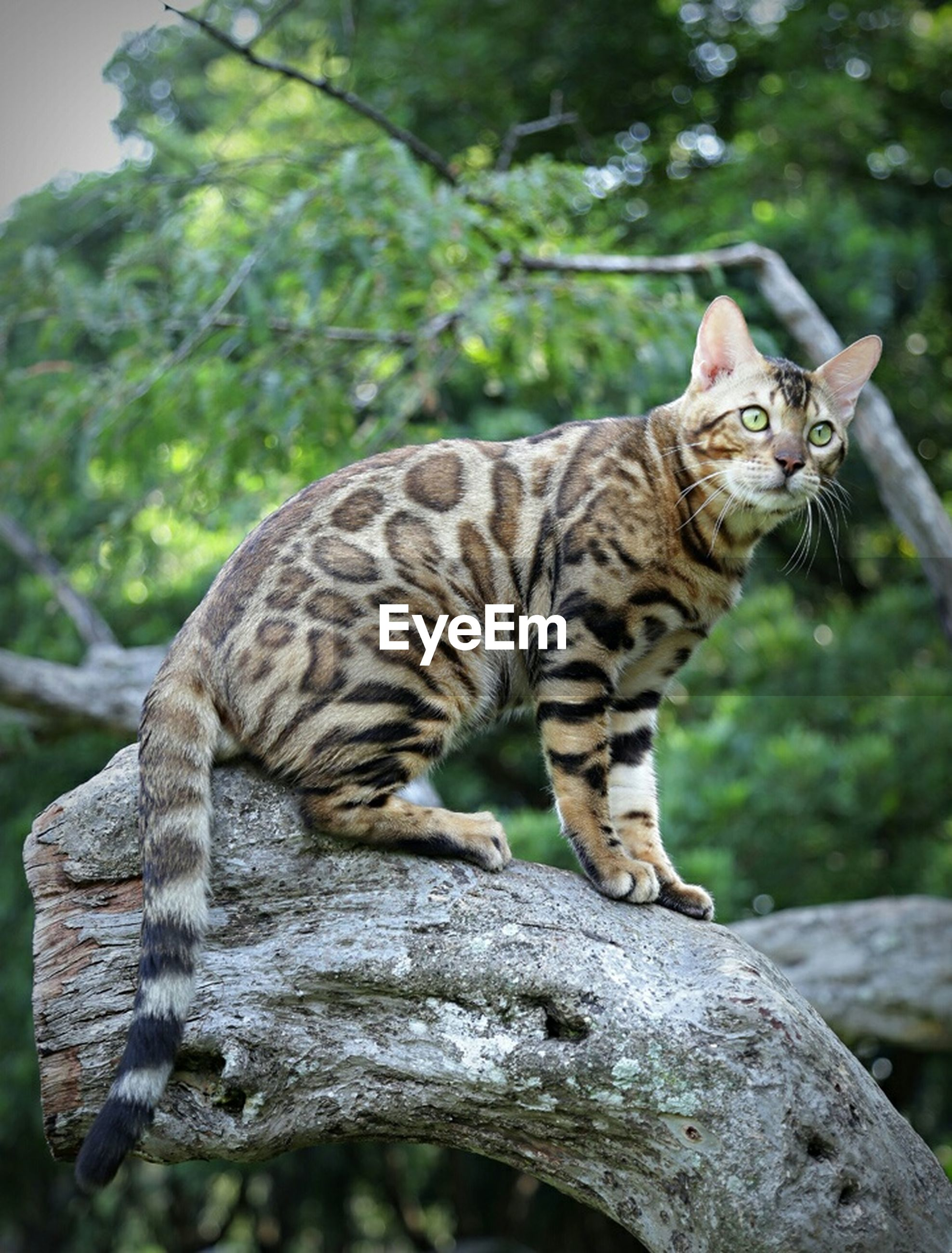 animal themes, one animal, mammal, animals in the wild, wildlife, tiger, focus on foreground, full length, looking away, side view, portrait, sitting, feline, outdoors, forest, animal markings, day, two animals, tree