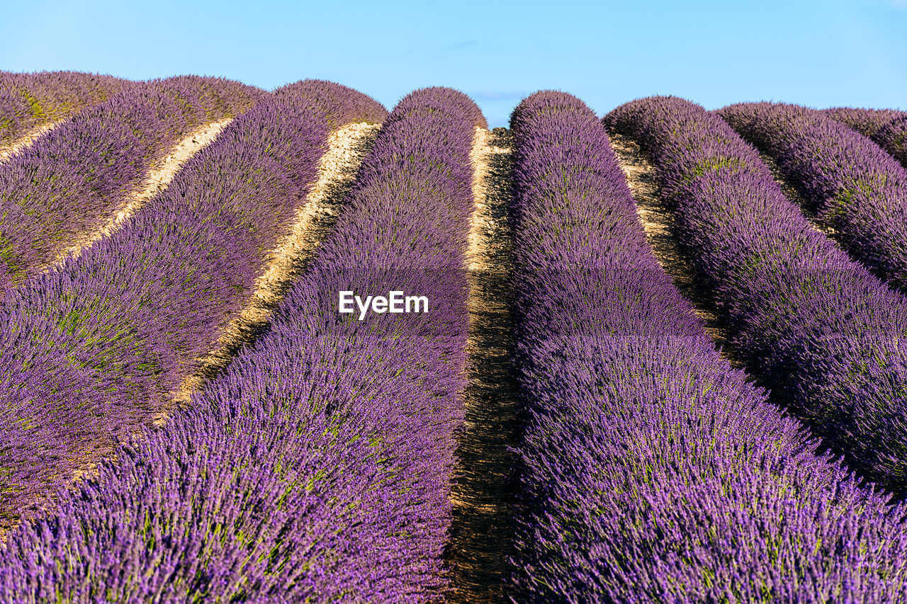 View Of Lavender Growing In Field Against Sky