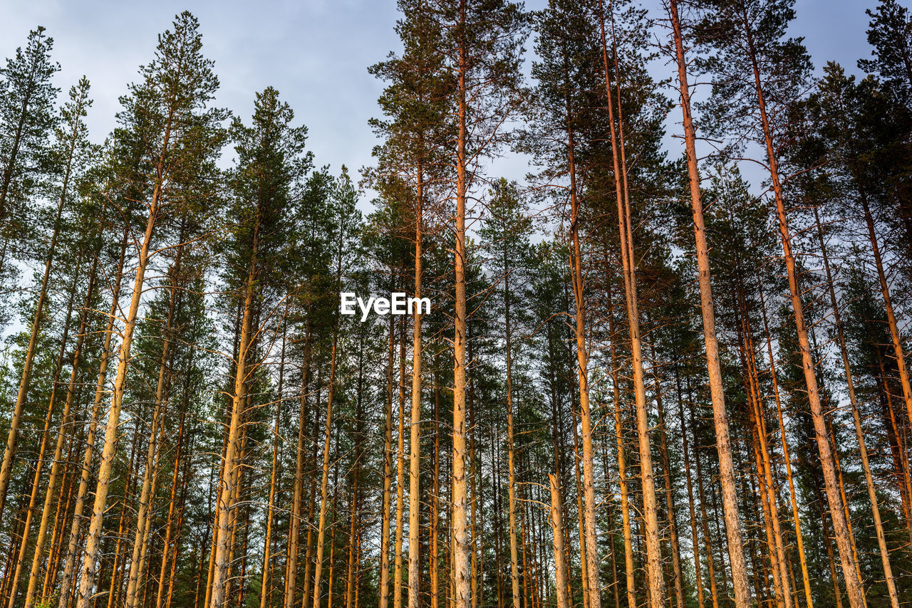 tree, plant, forest, low angle view, land, growth, trunk, tree trunk, tall - high, beauty in nature, tranquility, no people, sky, nature, woodland, day, tranquil scene, scenics - nature, non-urban scene, outdoors, pine tree, bamboo - plant, pine woodland, coniferous tree
