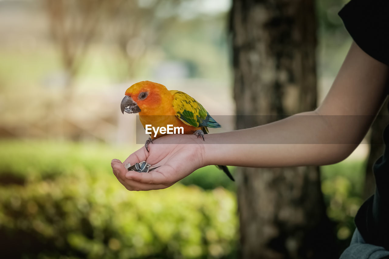 bird, parrot, vertebrate, focus on foreground, one animal, animal wildlife, animals in the wild, human hand, real people, day, one person, perching, hand, holding, human body part, lifestyles, rainbow lorikeet, outdoors