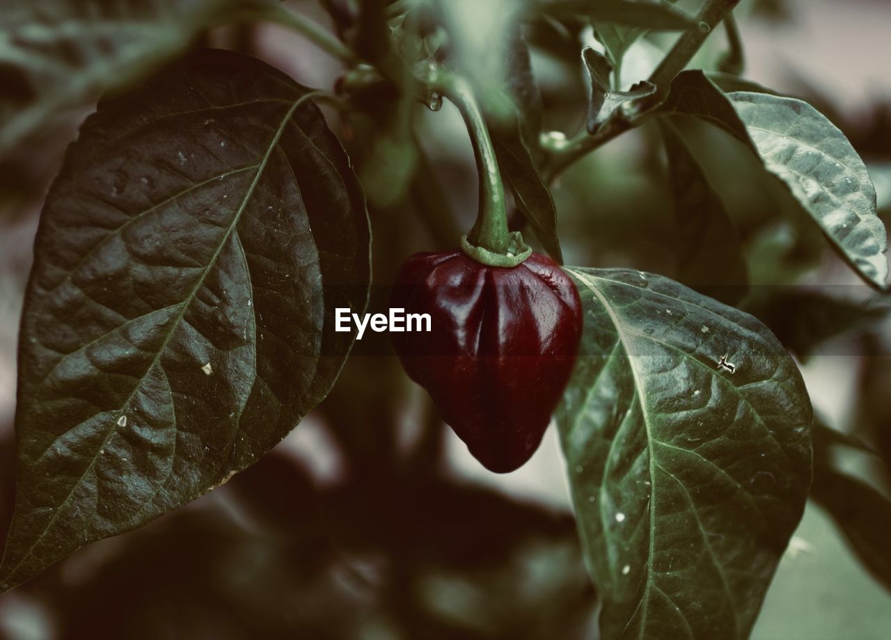 leaf, plant part, food and drink, food, healthy eating, freshness, close-up, plant, growth, wellbeing, focus on foreground, fruit, no people, red, nature, day, beauty in nature, vegetable, outdoors, tree, leaves, ripe