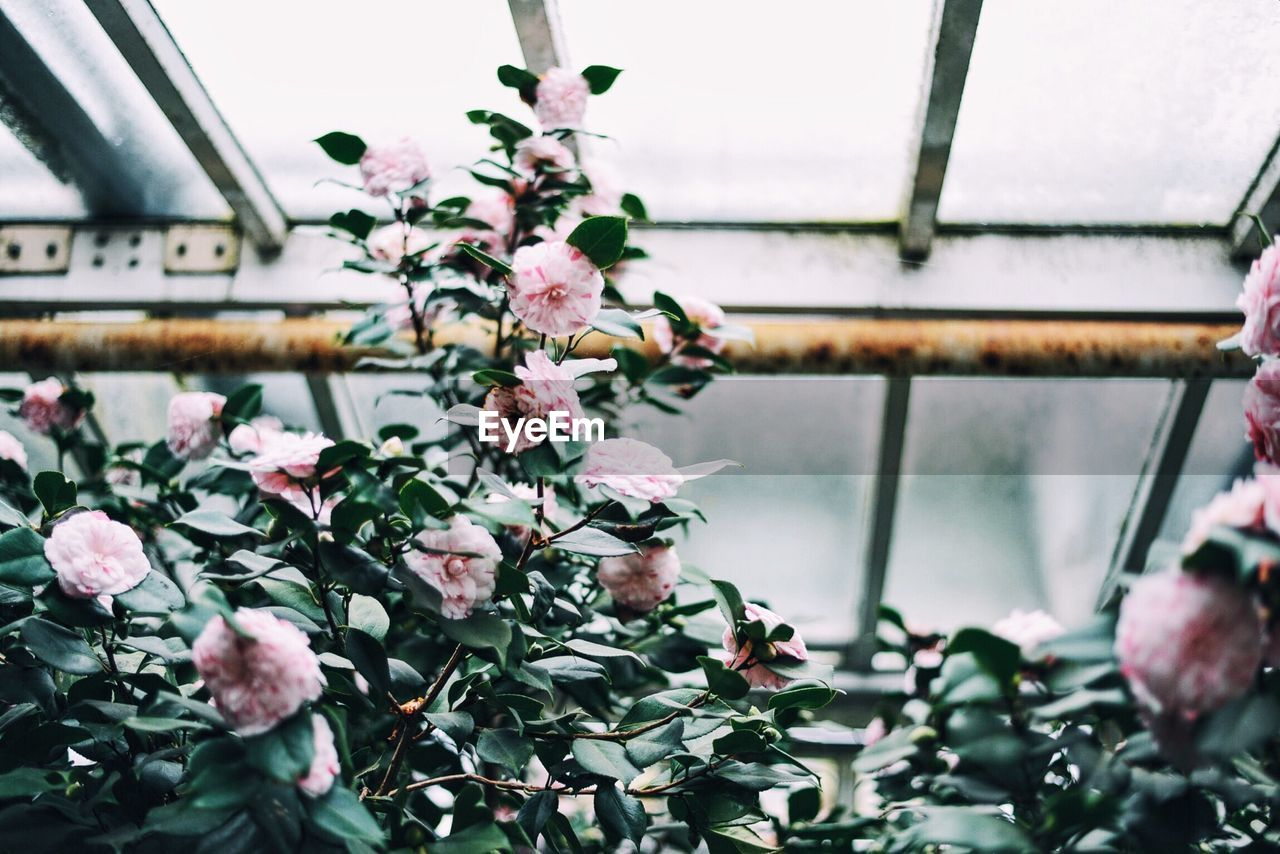 Low Angle View Of Pink Flowers Blooming At Greenhouse