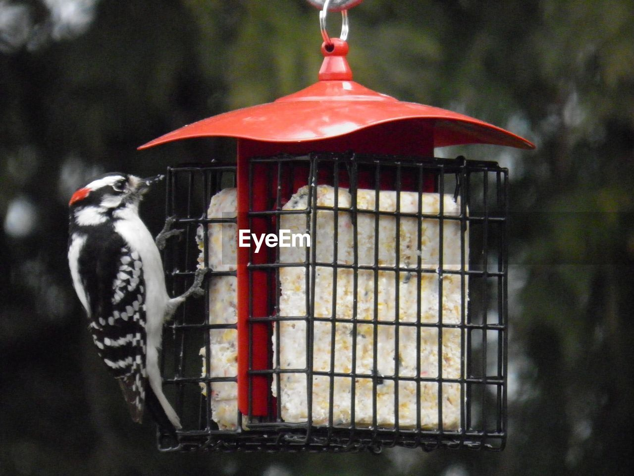 focus on foreground, red, day, bird, bird feeder, close-up, no people, animal themes, hanging, food, vertebrate, animal, metal, food and drink, animal wildlife, outdoors, one animal, cage, nature, tree