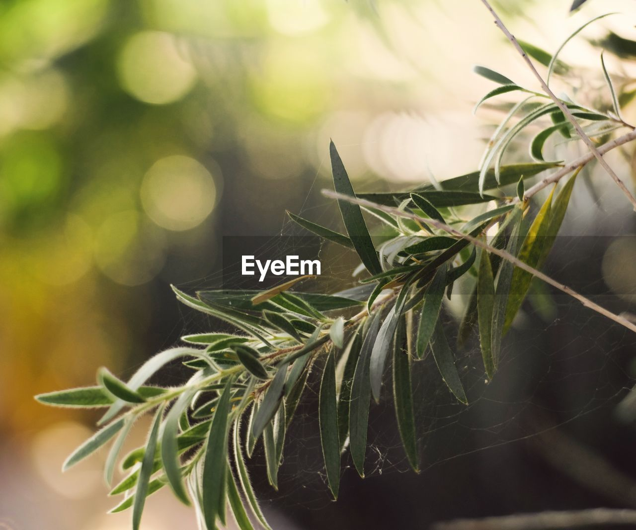 close-up, plant, green color, leaf, plant part, selective focus, nature, no people, focus on foreground, growth, freshness, day, holiday, rosemary, tree, celebration, food and drink, beauty in nature, decoration, herb, needle - plant part, leaves