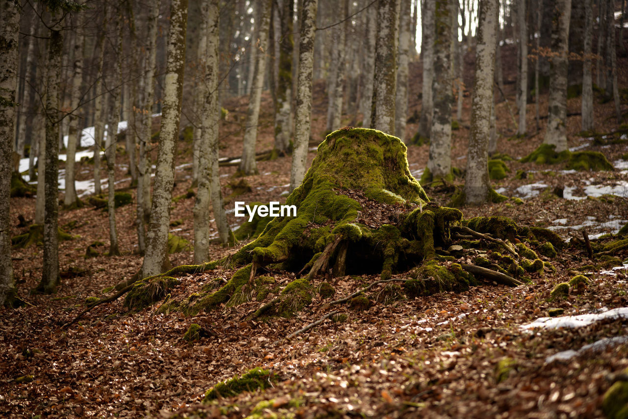 forest, plant, tree, land, tree trunk, moss, woodland, trunk, nature, no people, growth, day, tranquility, outdoors, dirt, selective focus, environment, beauty in nature, green color, non-urban scene, rainforest, surface level
