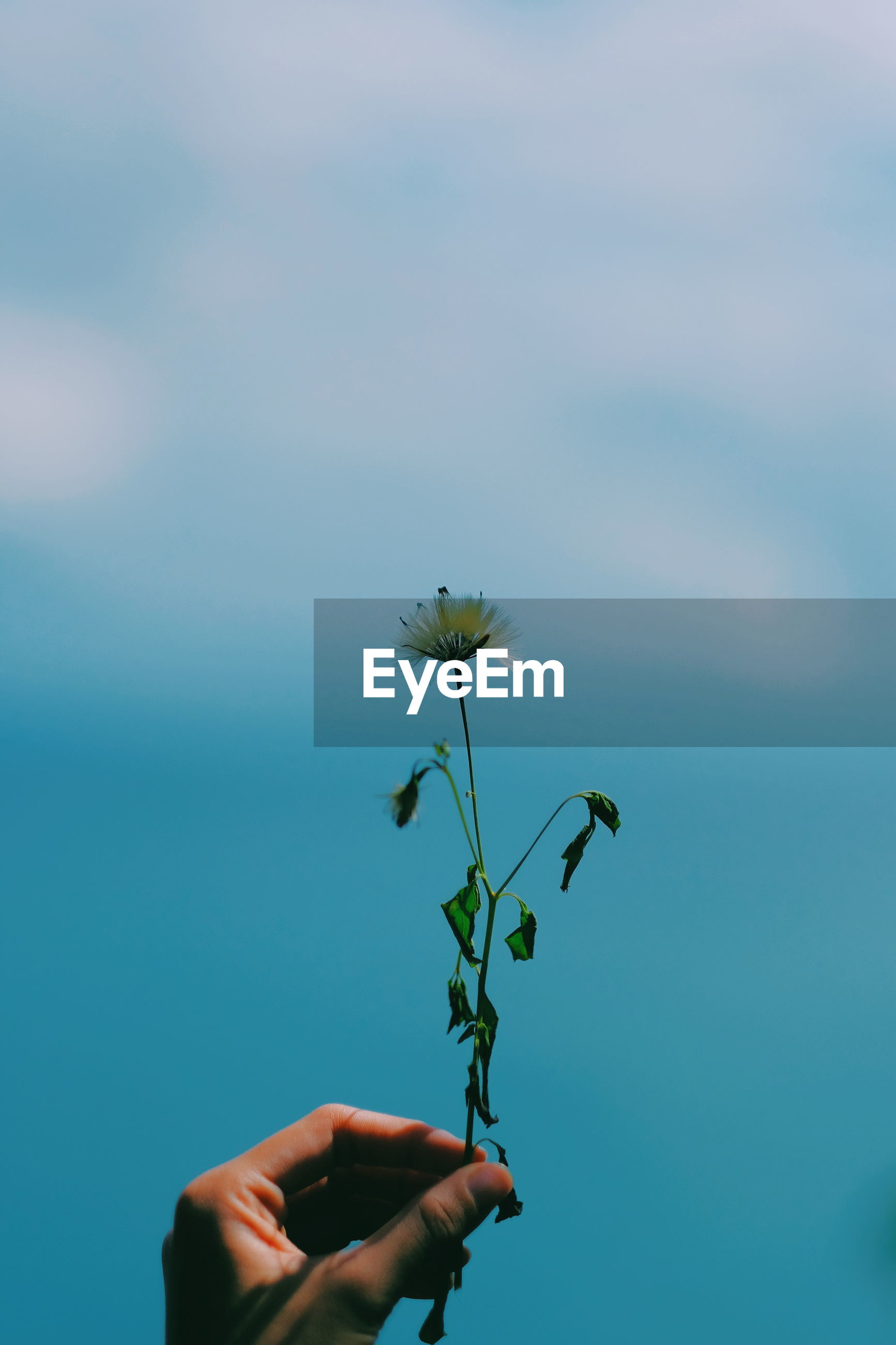 Person holding red flowering plant against blue sky