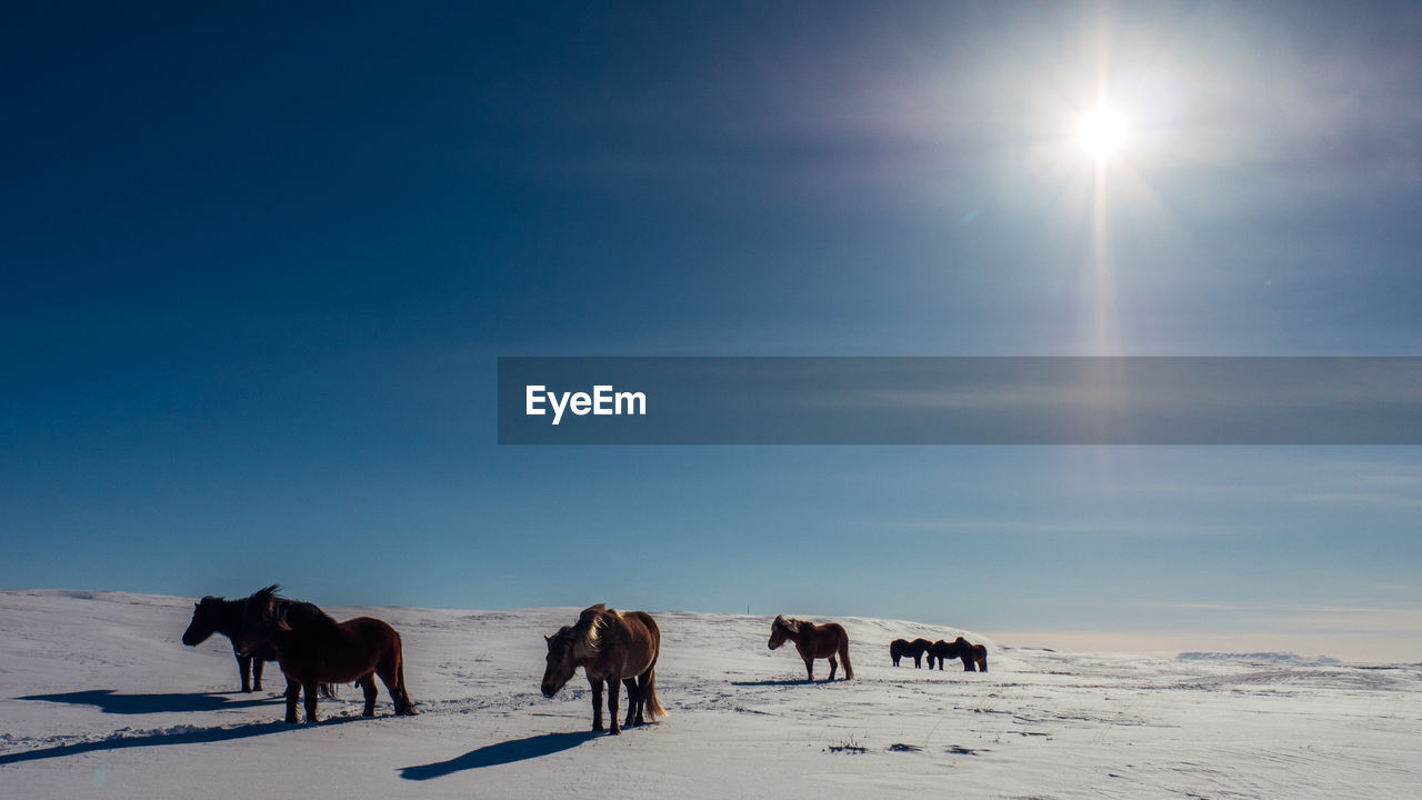sky, group of animals, animal themes, animal, mammal, livestock, winter, domestic animals, snow, horse, cold temperature, animal wildlife, domestic, vertebrate, land, sunlight, pets, nature, scenics - nature, sun, no people, herbivorous, lens flare, snowcapped mountain, bright