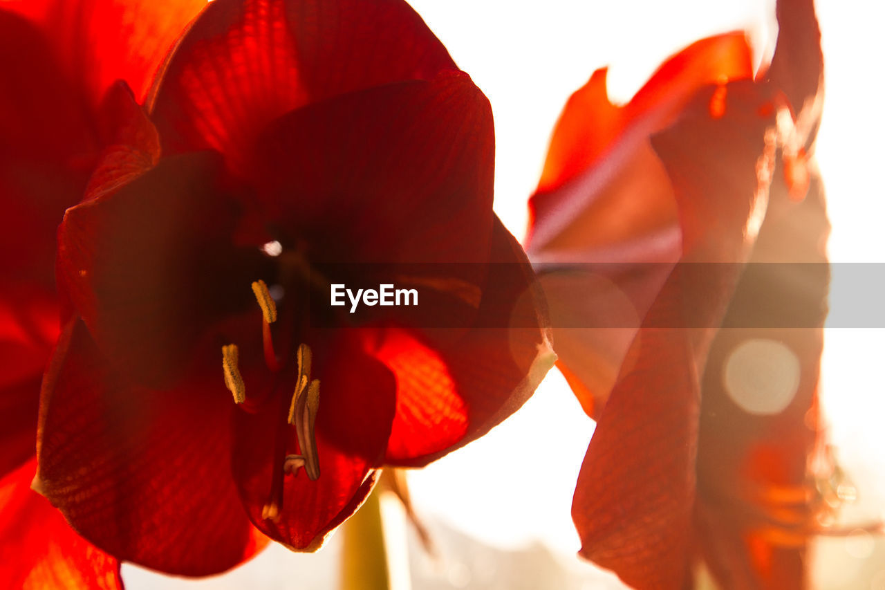red, flowering plant, flower, beauty in nature, petal, close-up, plant, nature, inflorescence, freshness, flower head, vulnerability, fragility, sunlight, focus on foreground, day, orange color, no people, outdoors, growth