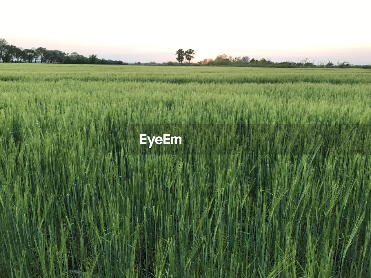 agriculture, field, growth, nature, landscape, farm, crop, tranquility, beauty in nature, tranquil scene, green color, cereal plant, no people, rural scene, outdoors, scenics, plant, day, clear sky, grass, wheat, sky, rice paddy, tree