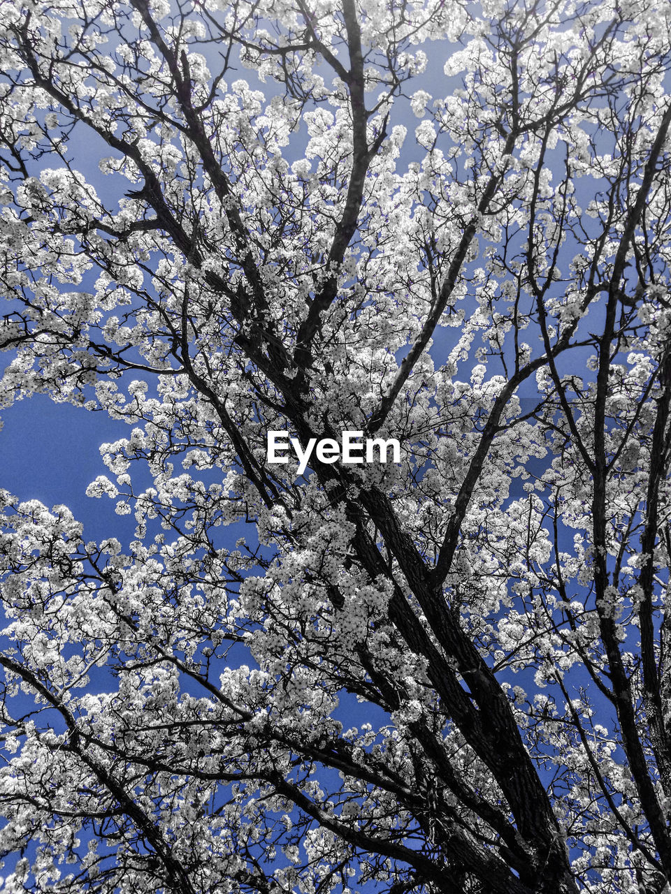 tree, branch, beauty in nature, nature, low angle view, flower, growth, blossom, springtime, fragility, day, white color, no people, outdoors, apple blossom, freshness, backgrounds, tranquility, full frame, scenics, clear sky, sky, close-up