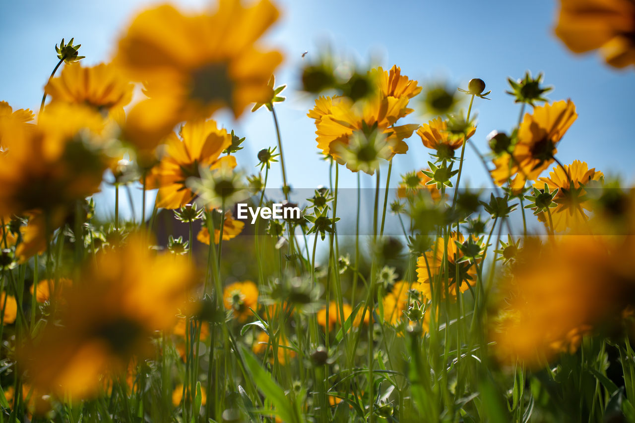 yellow, flower, flowering plant, plant, beauty in nature, growth, fragility, freshness, vulnerability, field, land, selective focus, nature, close-up, sky, petal, agriculture, no people, day, landscape, flower head