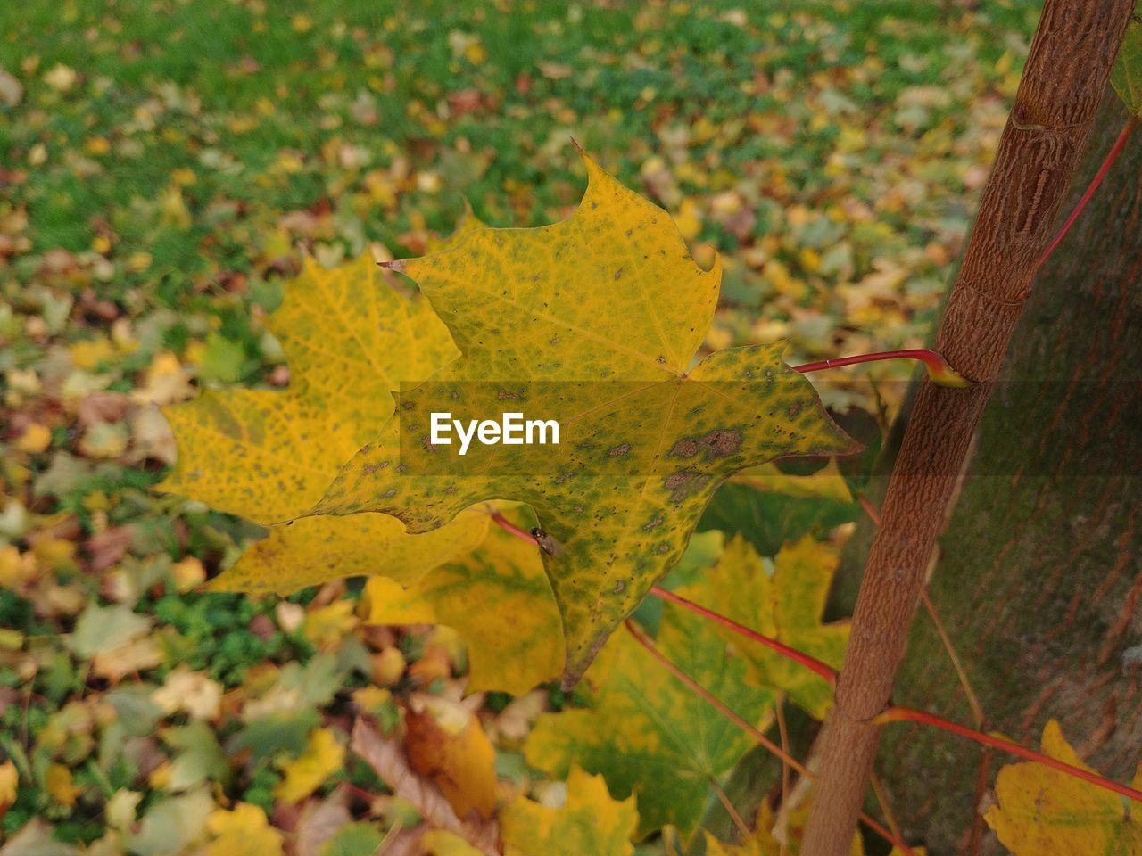 leaf, autumn, nature, growth, no people, tranquility, tree, day, outdoors, change, focus on foreground, beauty in nature, field, scenics, yellow, branch, close-up, maple
