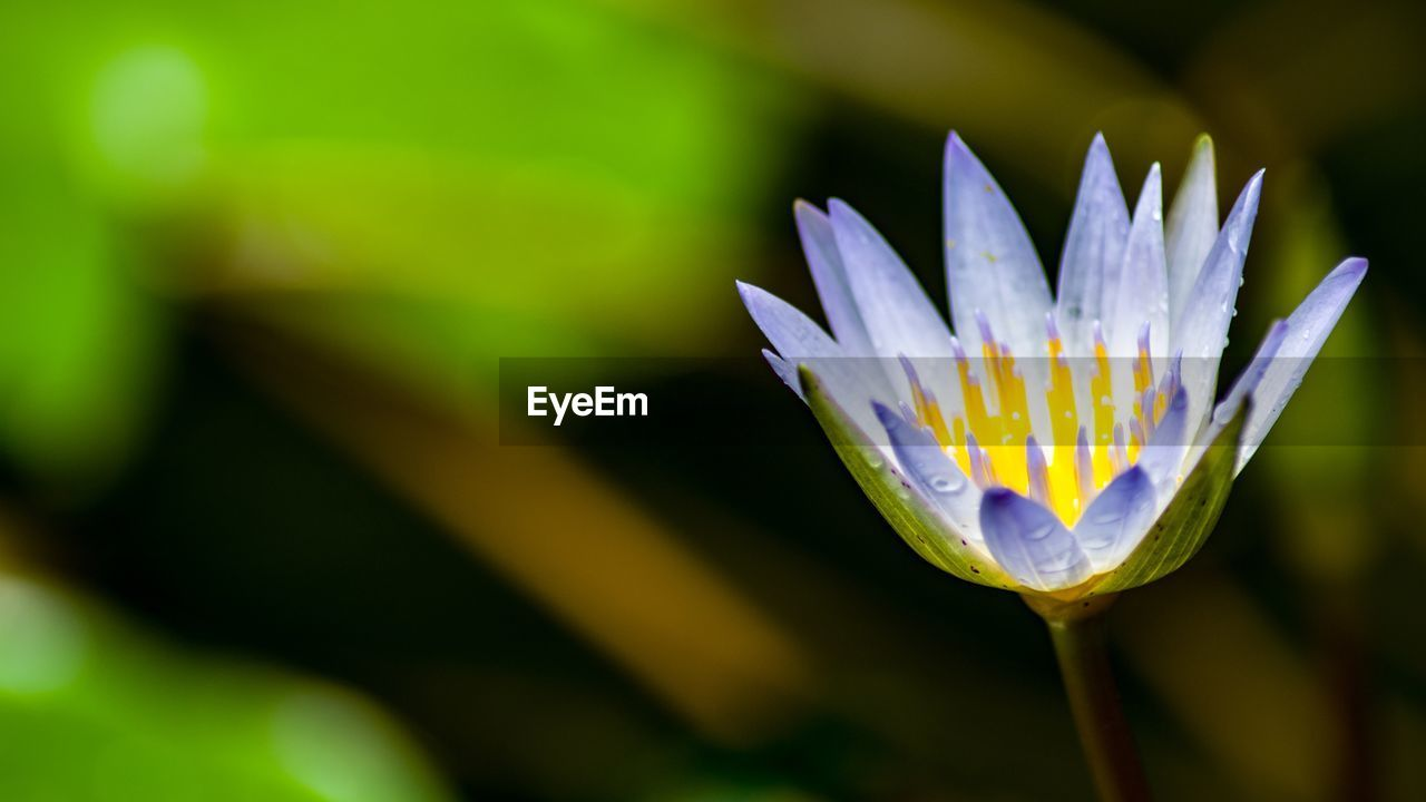 vulnerability, plant, growth, freshness, fragility, beauty in nature, flower, flowering plant, close-up, petal, flower head, inflorescence, water lily, focus on foreground, pollen, nature, purple, no people, day, outdoors, lotus water lily