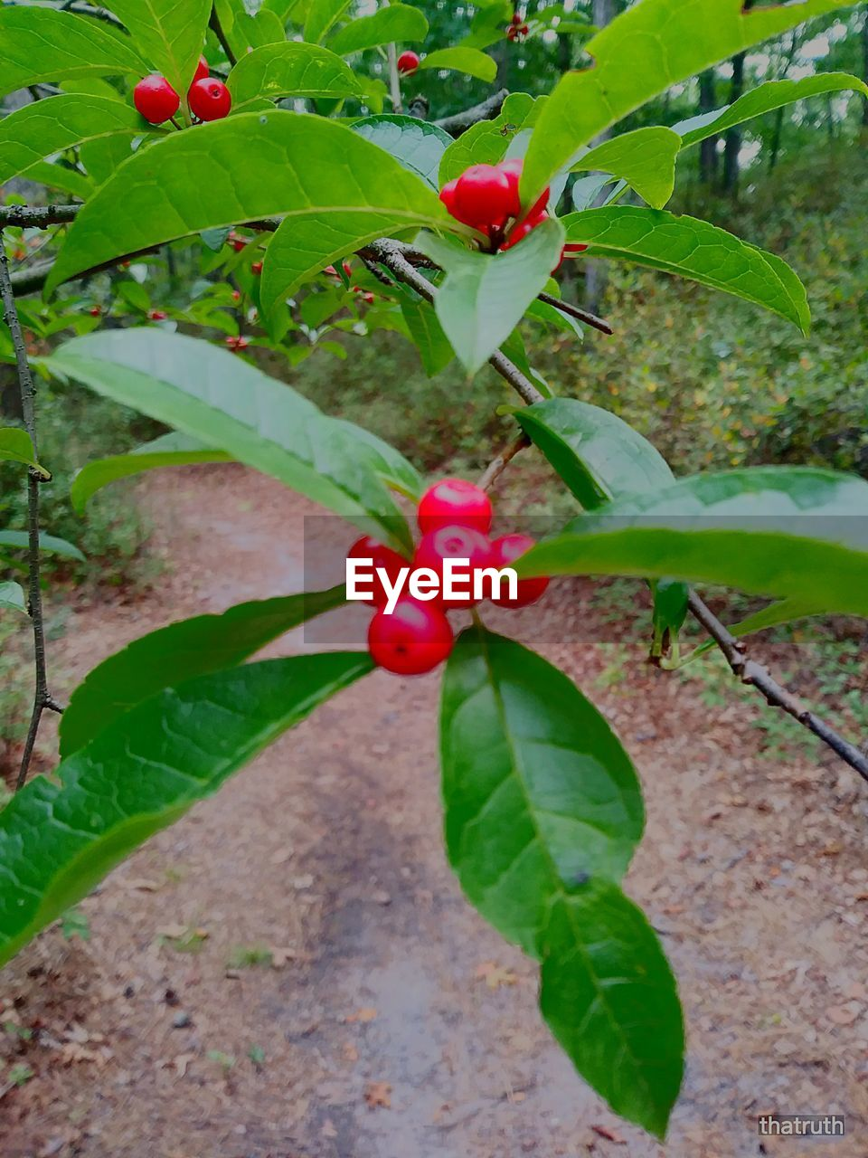 leaf, growth, green color, plant, red, fruit, growing, nature, freshness, food and drink, day, outdoors, no people, close-up, beauty in nature, branch, food, tree, healthy eating, periwinkle