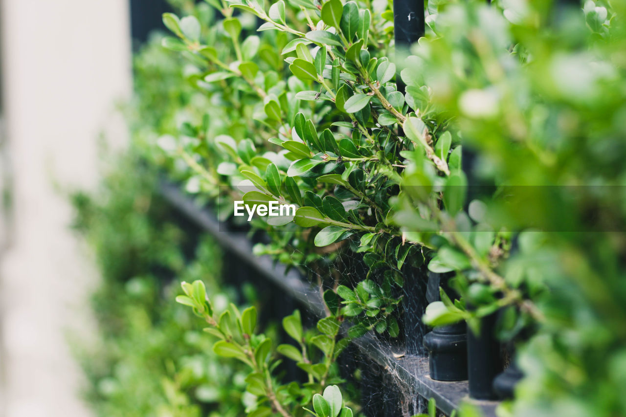 plant, growth, leaf, plant part, green color, selective focus, nature, day, beauty in nature, close-up, no people, outdoors, sunlight, focus on foreground, tree, food and drink, potted plant, herb, front or back yard, freshness