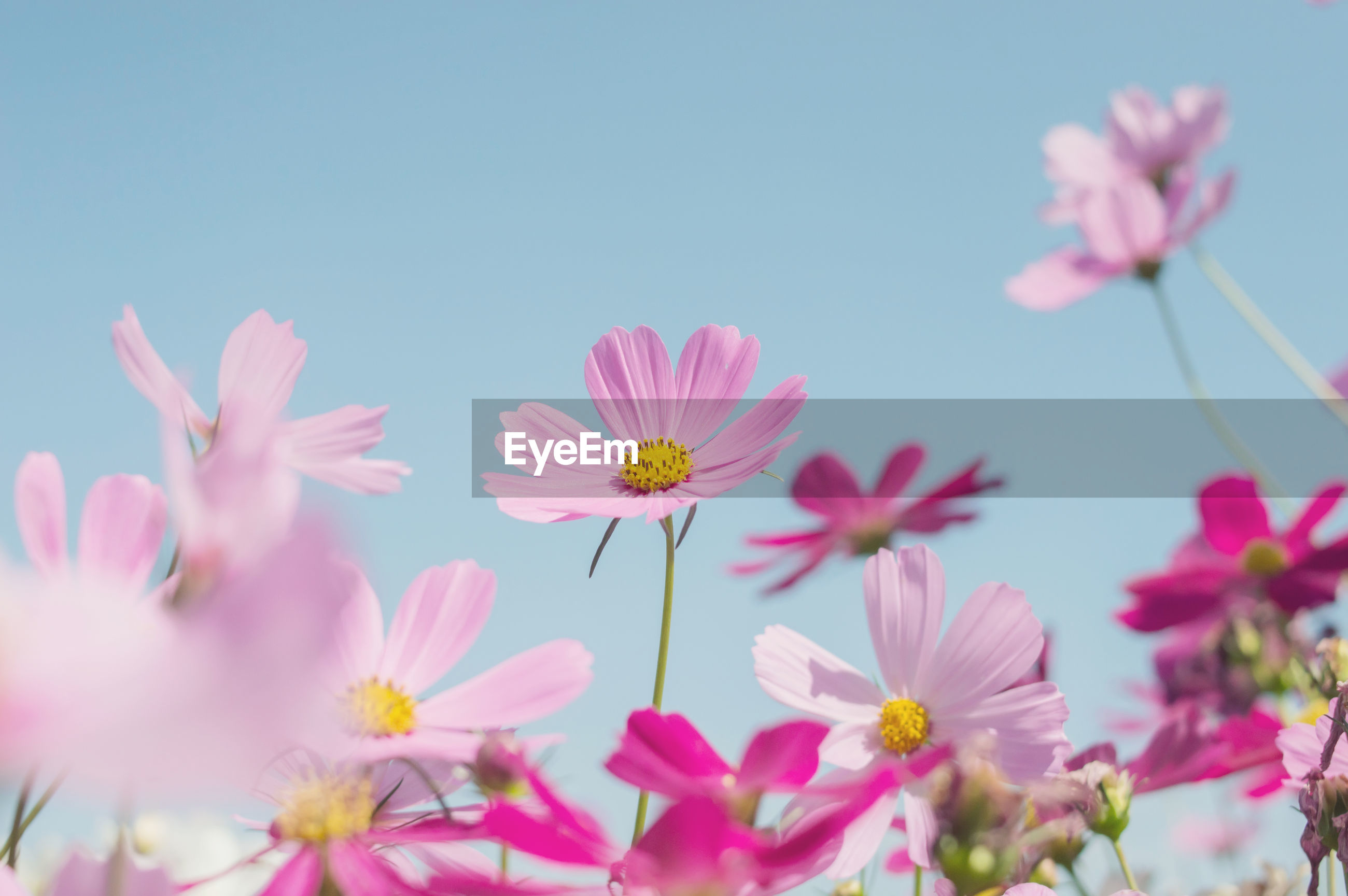 Close-up of pink cosmos flowers against sky