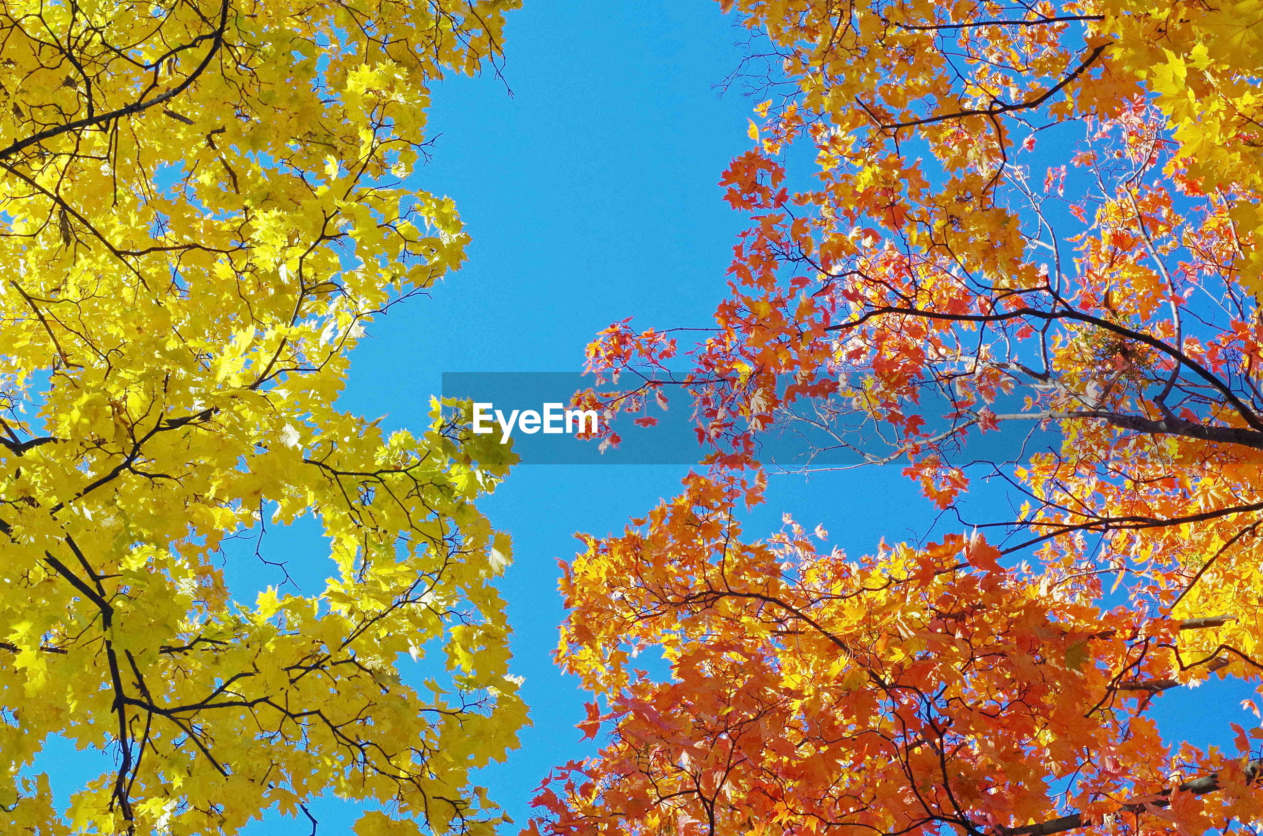 tree, autumn, nature, yellow, branch, beauty in nature, leaf, change, growth, blue, outdoors, day, maple tree, clear sky, low angle view, no people, backgrounds, multi colored, sky, close-up, freshness
