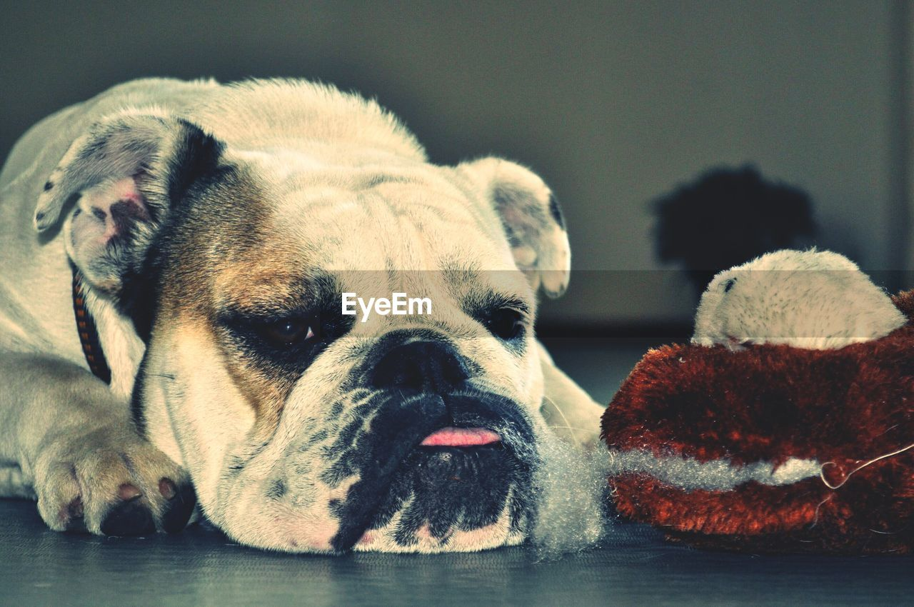 mammal, animal themes, animal, one animal, dog, canine, domestic animals, domestic, pets, vertebrate, close-up, relaxation, no people, animal body part, indoors, focus on foreground, animal head, english bulldog, day, resting