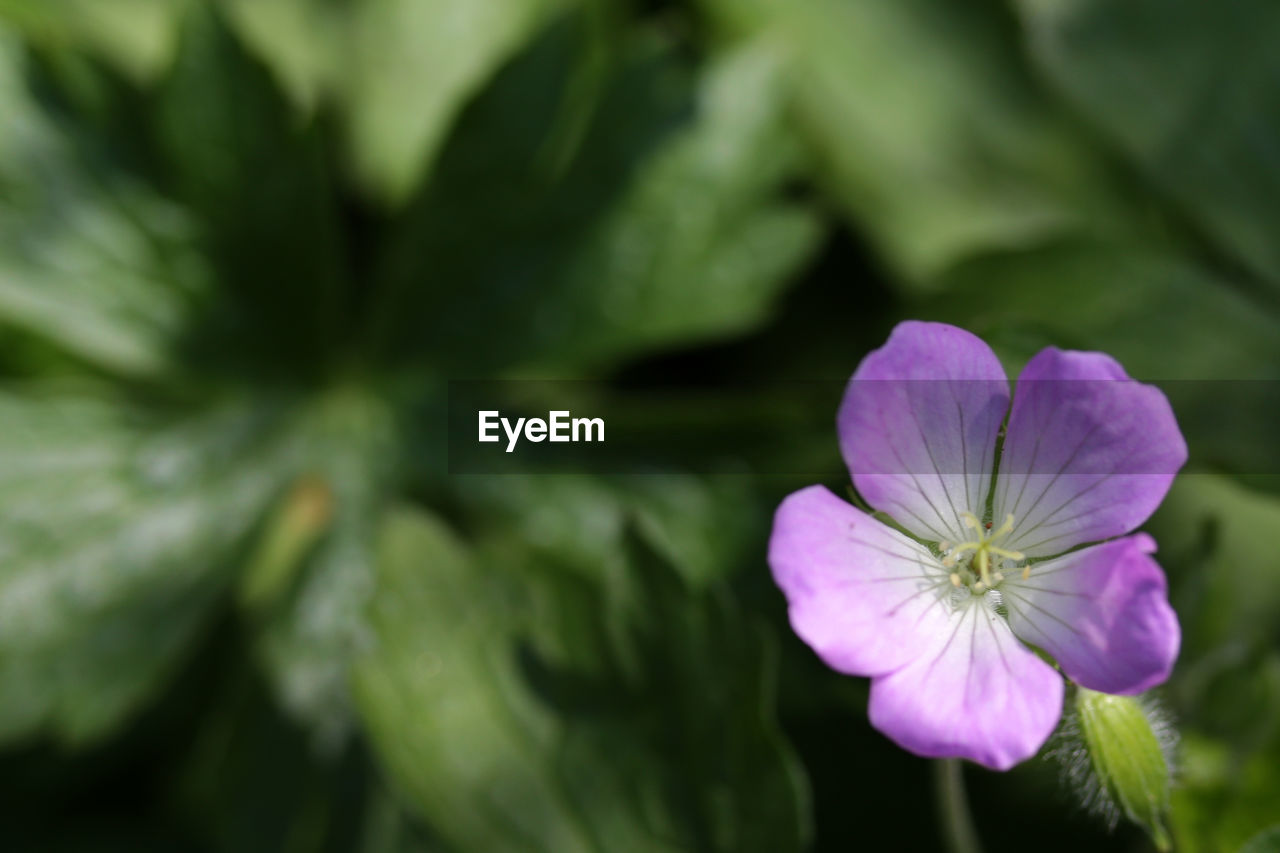 flower, beauty in nature, petal, fragility, nature, flower head, plant, freshness, growth, purple, green color, day, blooming, no people, outdoors, close-up, petunia