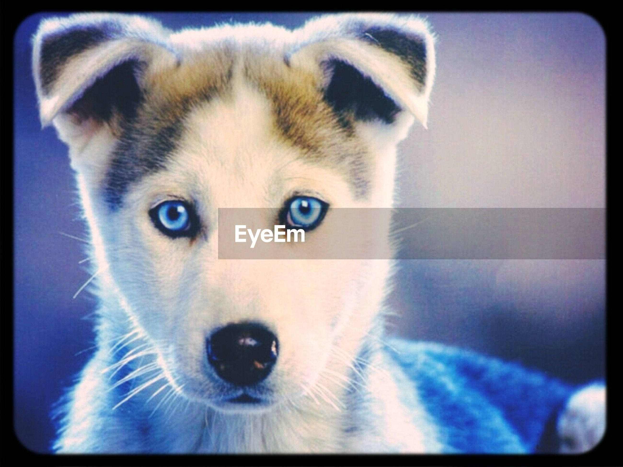 one animal, animal themes, pets, transfer print, portrait, looking at camera, domestic animals, mammal, auto post production filter, close-up, dog, animal head, focus on foreground, animal body part, front view, indoors, animal eye, staring, alertness, no people