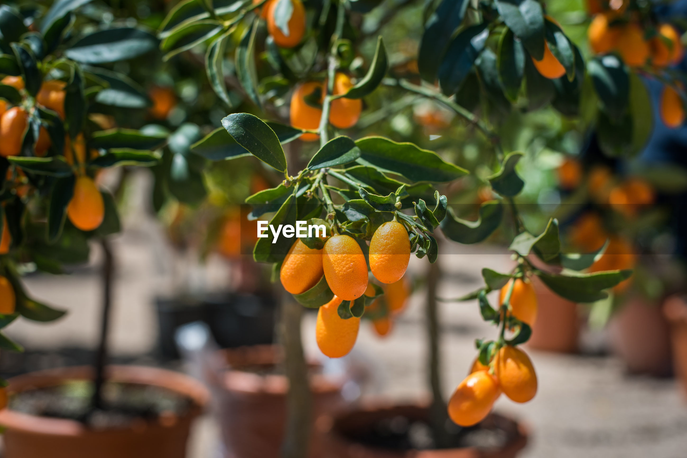 Close-up of orange fruits on tree
