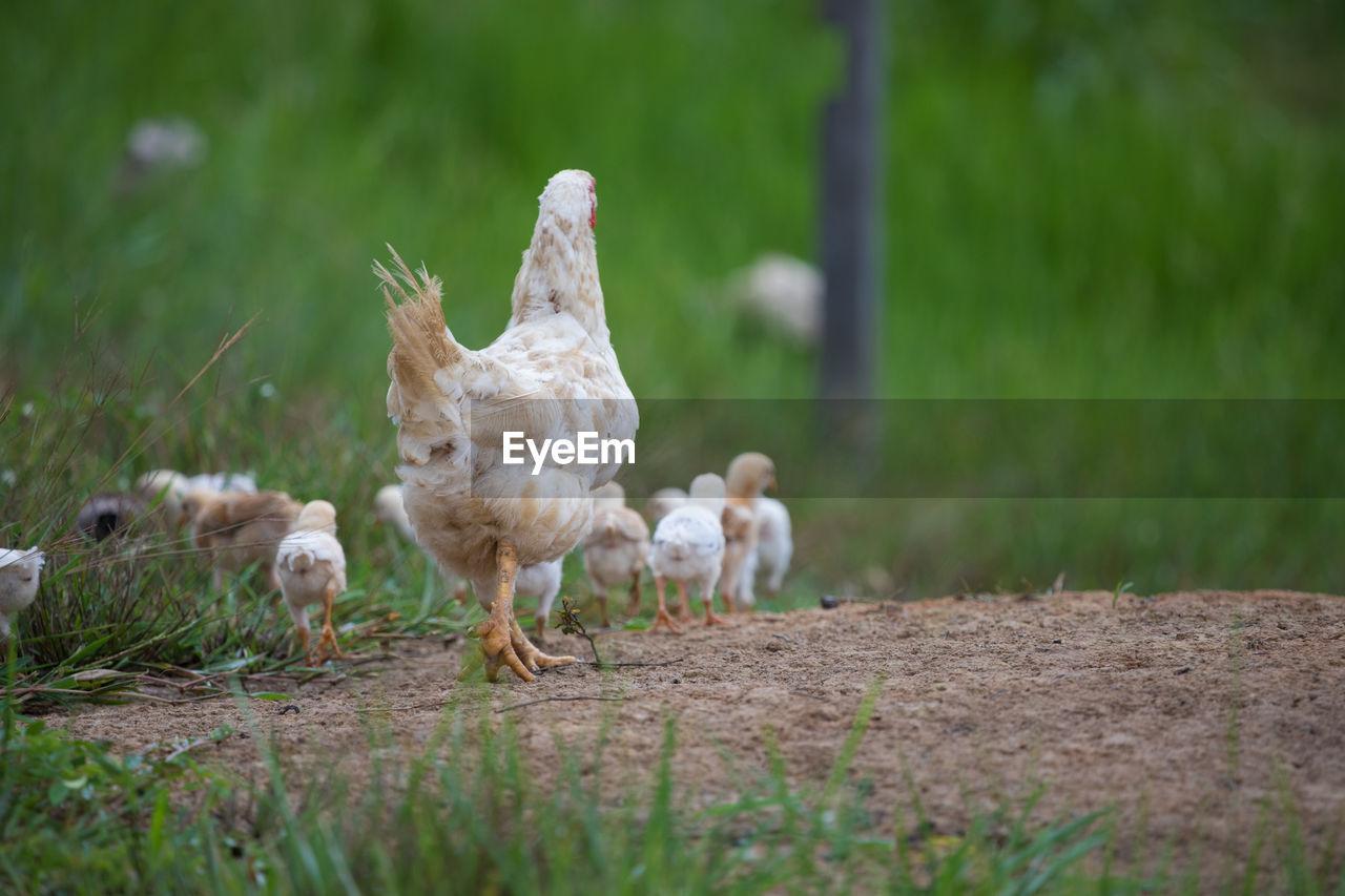 Chickens Walking On Field