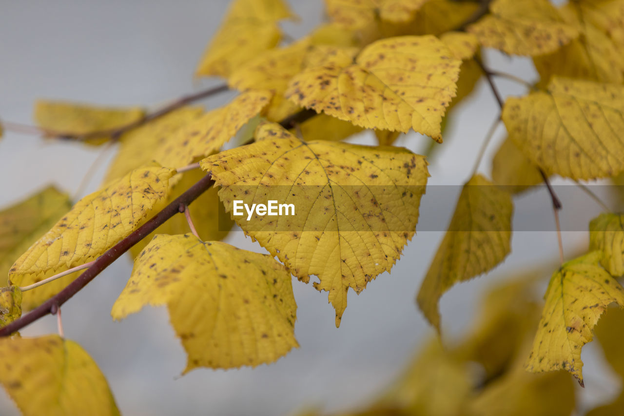 yellow, plant part, leaf, change, autumn, close-up, plant, beauty in nature, no people, leaves, nature, selective focus, focus on foreground, day, vulnerability, fragility, tree, leaf vein, outdoors, dry, autumn collection, natural condition