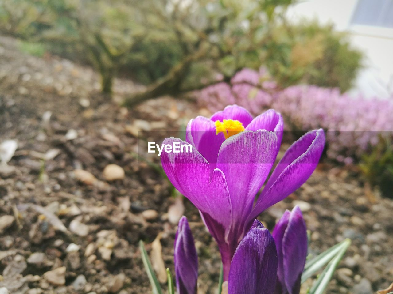 flower, petal, pink color, purple, flower head, fragility, nature, focus on foreground, beauty in nature, day, plant, freshness, no people, crocus, field, growth, close-up, blooming, outdoors