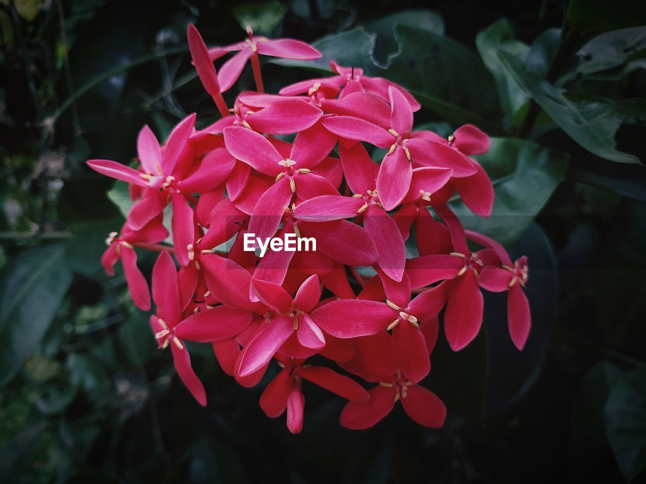 flowering plant, plant, flower, petal, fragility, beauty in nature, vulnerability, freshness, growth, flower head, inflorescence, close-up, pink color, nature, no people, red, day, focus on foreground, leaf, plant part