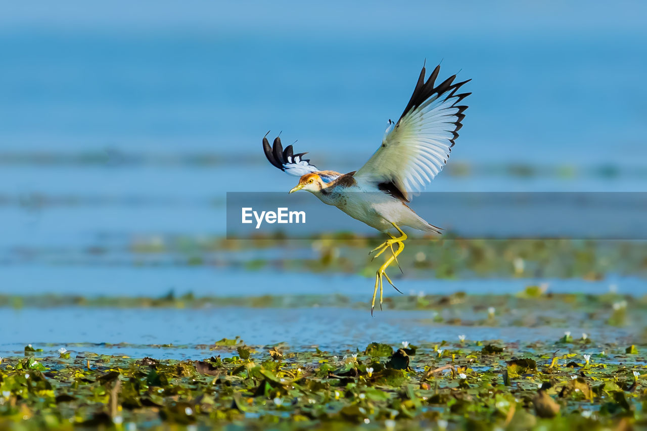 animals in the wild, animal wildlife, bird, vertebrate, animal themes, animal, flying, one animal, spread wings, water, nature, selective focus, day, mid-air, sea, no people, outdoors, motion, beauty in nature