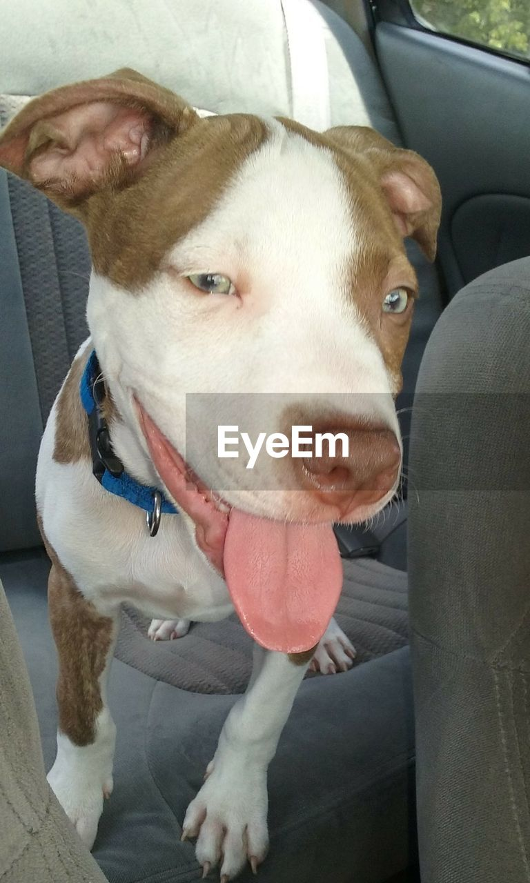 dog, pets, domestic animals, car, one animal, animal themes, mammal, car interior, looking at camera, transportation, portrait, sitting, day, pit bull terrier, close-up, no people, outdoors