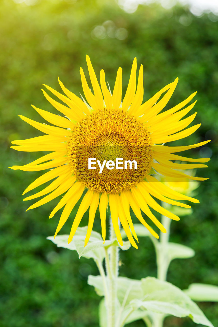 yellow, flower, flowering plant, fragility, plant, vulnerability, freshness, growth, beauty in nature, flower head, inflorescence, close-up, petal, focus on foreground, nature, sunflower, day, pollen, field, no people, outdoors