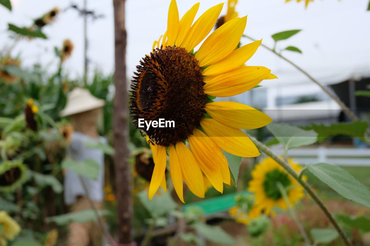 flowering plant, flower, petal, fragility, flower head, vulnerability, growth, plant, inflorescence, freshness, yellow, beauty in nature, close-up, pollen, focus on foreground, nature, day, coneflower, no people, outdoors, sunflower, gazania