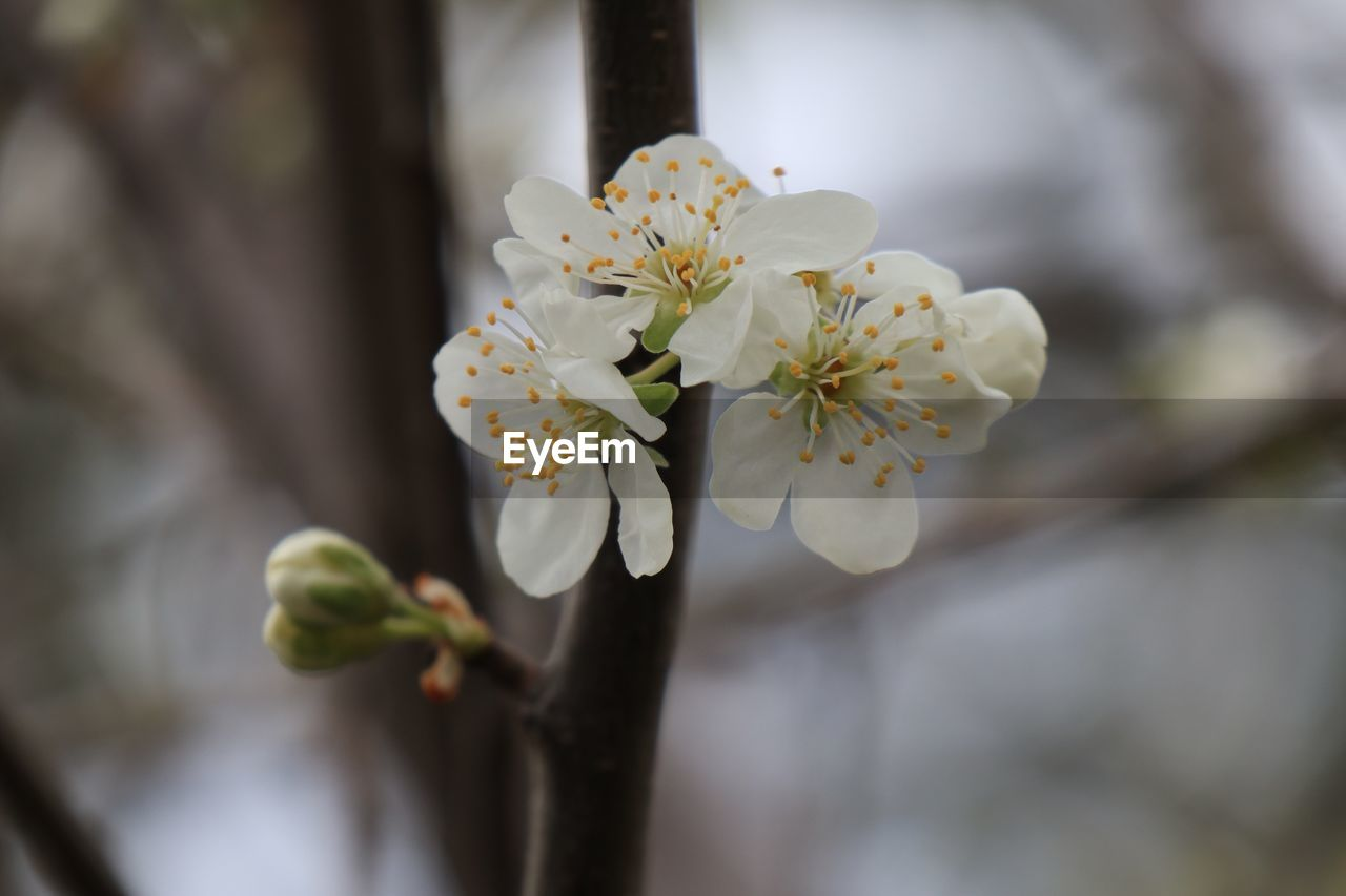plant, flower, flowering plant, growth, fragility, vulnerability, freshness, beauty in nature, close-up, focus on foreground, bud, selective focus, nature, petal, inflorescence, white color, flower head, blossom, day, no people, pollen, springtime, outdoors, cherry blossom
