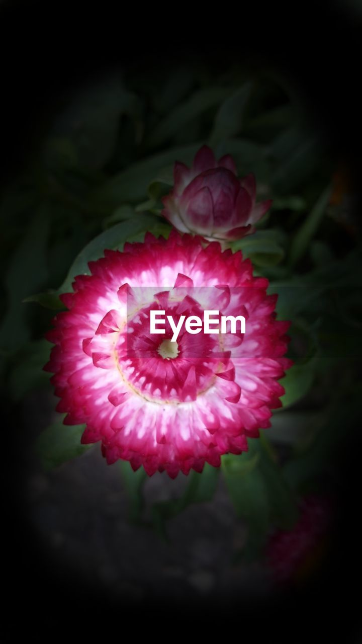 flower, flowering plant, plant, pink color, petal, freshness, beauty in nature, close-up, vulnerability, fragility, flower head, inflorescence, nature, no people, growth, indoors, focus on foreground, directly above, high angle view