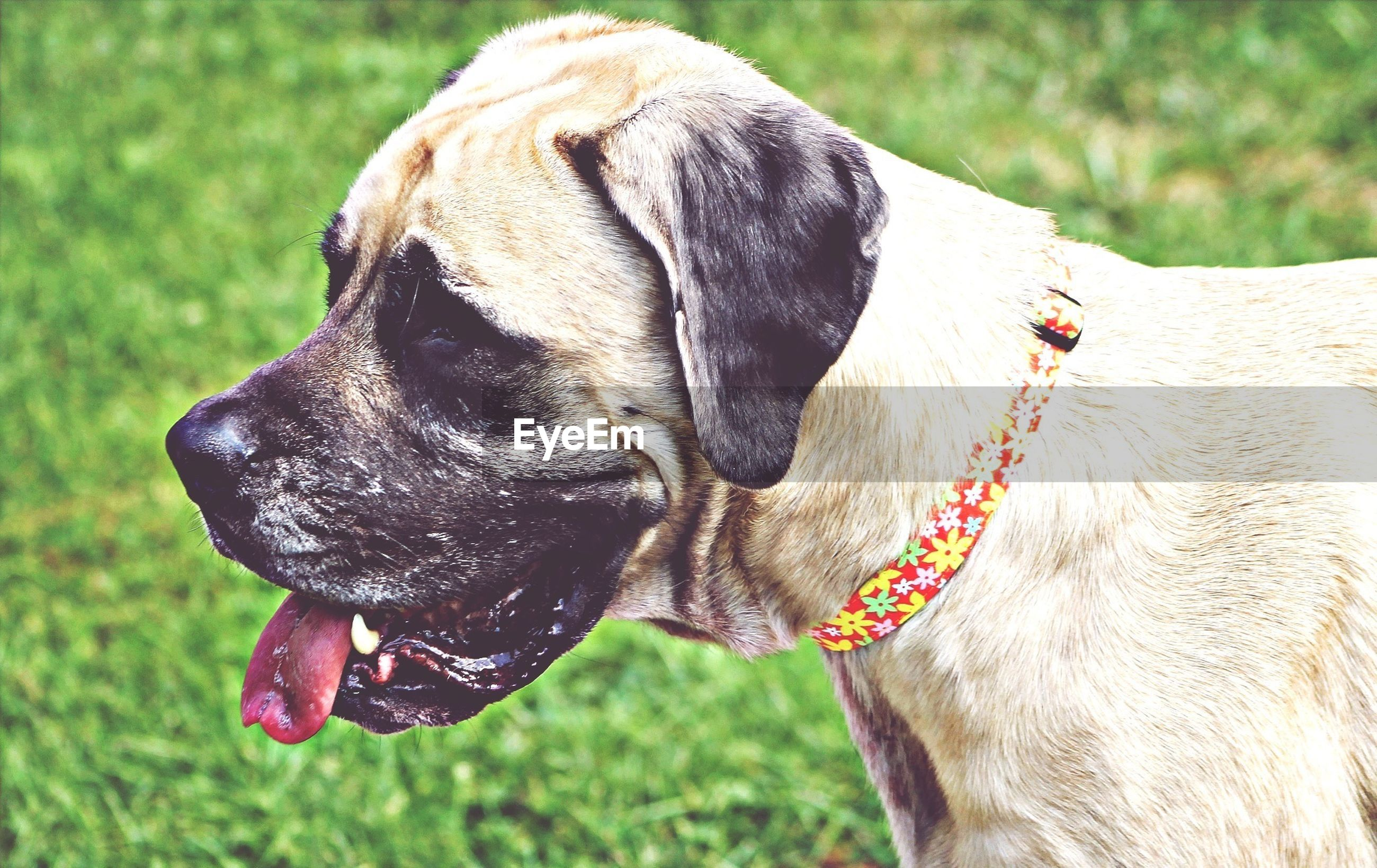animal themes, one animal, domestic animals, mammal, horse, animal head, focus on foreground, close-up, field, animal body part, livestock, dog, working animal, herbivorous, grass, day, outdoors, part of, nature, standing