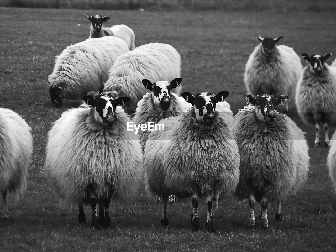 group of animals, animal, animal themes, livestock, pets, domestic, mammal, domestic animals, vertebrate, sheep, grass, field, land, large group of animals, nature, no people, day, plant, agriculture, outdoors, herbivorous, herd