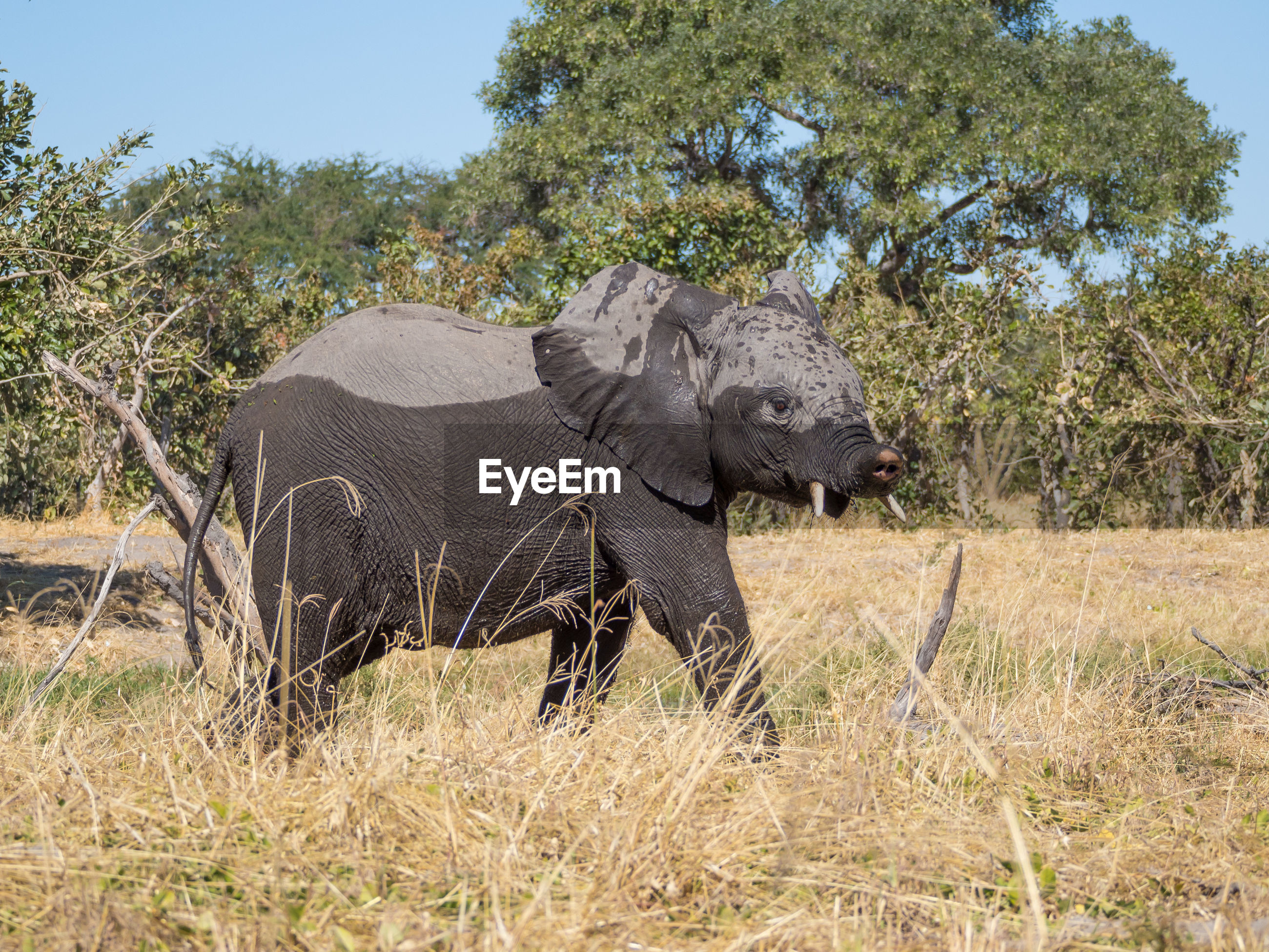View of young african elephant with crippled trunk in moremi game reserve, botswana