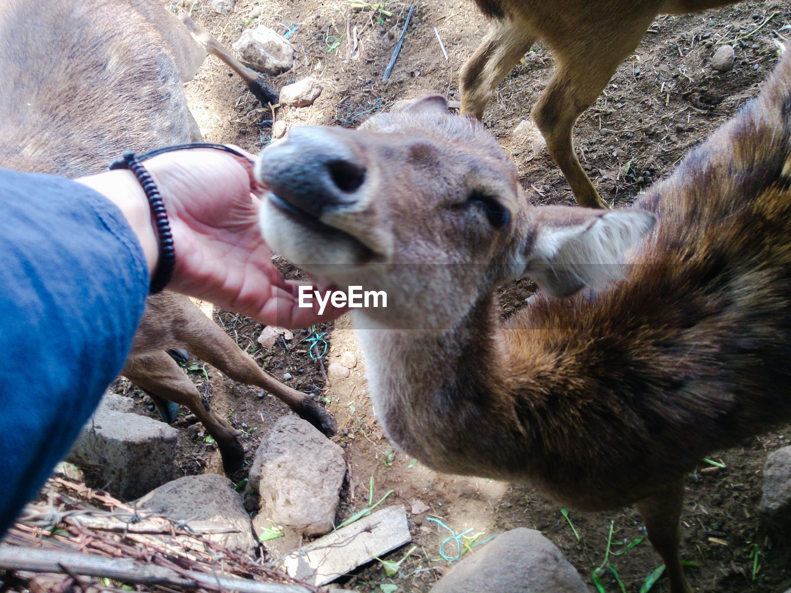 Cropped hand of person stroking deer outdoors