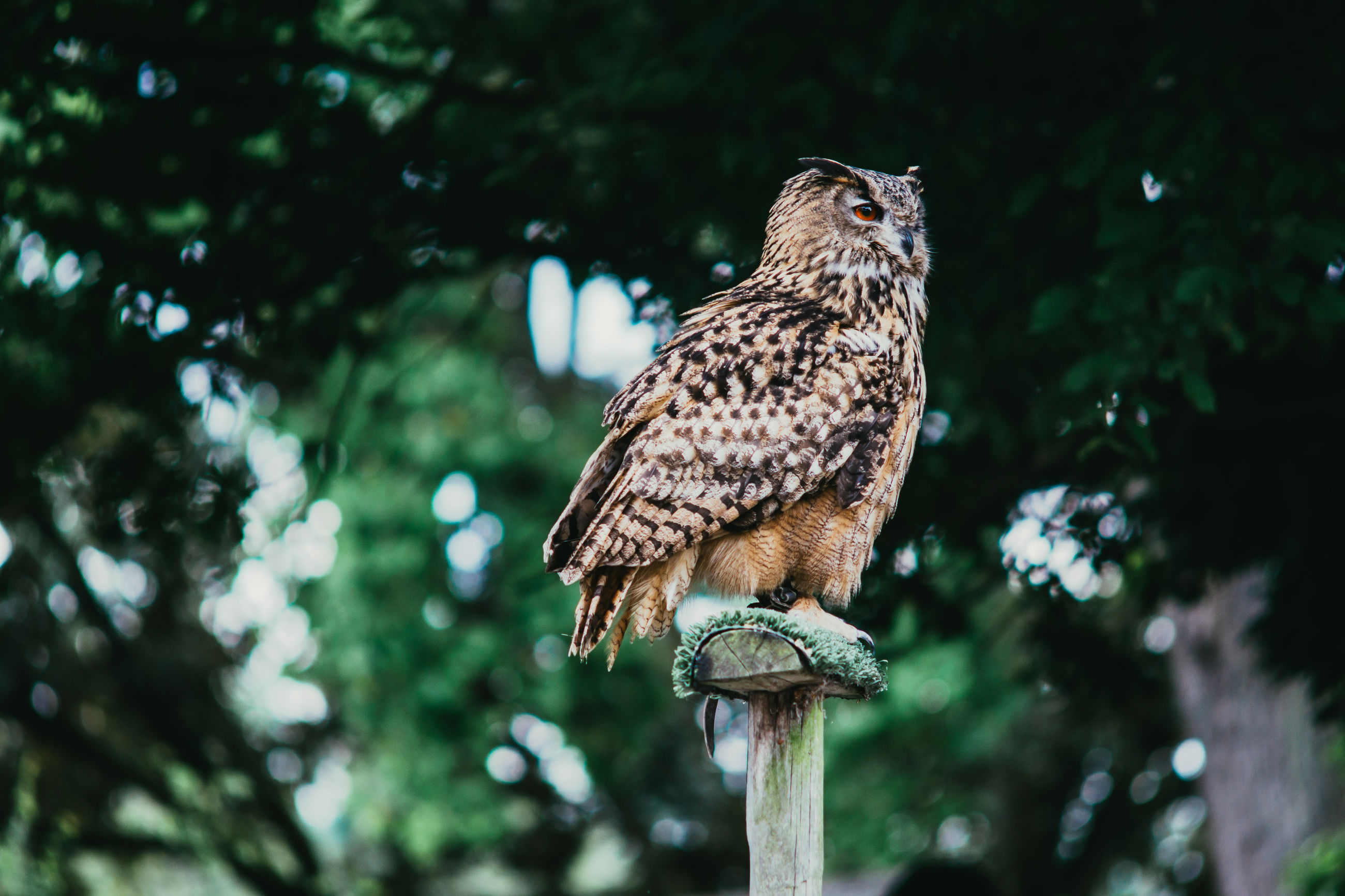 Low angle view of eurasian eagle owl perching on wooden post